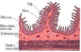 Riproduzione dei villi intestinali.Fonte: Wikipedia.