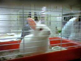 Esemplare di coniglio nano.Fonte: Wikipedia.