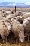 Pecore.Fonte: Wikipedia.