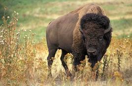 Bison Bison.Fonte: Wikipedia.