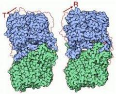 La glicogeno fosforilasi in forma attiva (destra) ed inattiva (sinistra).Fonte: Wikipedia.