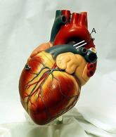 Modello di cuore umano. Fonte: Wikipedia.