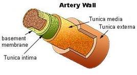 Arterie.Fonte: Wikipedia.
