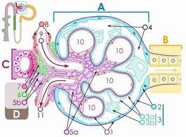 Struttura del glomerulo: A – corpuscolo renale B – tubulo prossimale C – tubulo contorto distale D – juxtaglomerulare 1. Membrana basale 2. Capsula di Bowman – parietale 3. Capsula di Bowman – viscerale 3a. Pedicelli (podociti) 3b. Podociti 4. spazio di Bowman (spazio delle vie urinarie) 5a. Mesangium – cellule Intraglomerulari 5b. Mesangium – cellule extraglomerulari 6. Cellule granulari (cellule juxtaglomerulari) 7. Macula densa 8. Miociti (muscolatura liscia) 9. Arteriola afferente 10. Glomerulo Capillari). Fonte: Wikipedia.