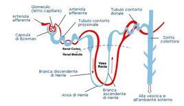 Anatomia del nefrone.