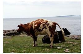 Urine del bovino: odore aromatico.