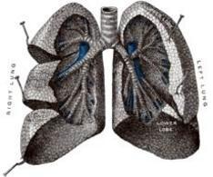 Schema di polmoni. Fonte: Wikipedia