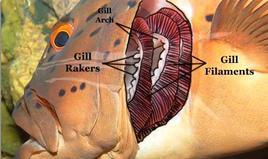 Branchie opercolate, sono visibili gli archi branchiali, le branchie e i filtri branchiali che trattengono particelle di cibo nella bocca. Fonte: Wikipedia