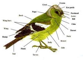 Anatomia generale di un uccello. Fonte: Wikipedia