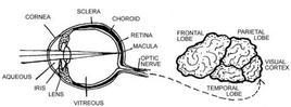Sezione dell'occhio