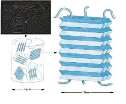Fig. 1.9: struttura flessibile. La fibroina della seta è un Foglietto β antiparallelo compatto – Stabilizzato da legami H (Gly- Ser- Gly- Ala- Gly- Ala)n . Questo tipo di struttura conferisce una grande flessibilità