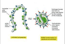 Fig. 1.10: la catena polipeptidica è avvolta su sé stessa