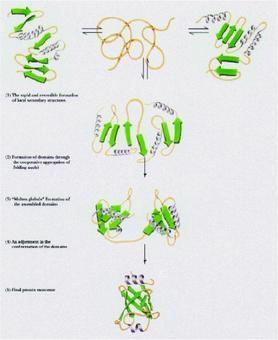 """Fig. 1.14: il problema del """"folding"""": che cosa determina la struttura tridimensionale delle proteine?"""