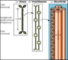 Fig. 1.6: la struttura dell'alfa-cheratina