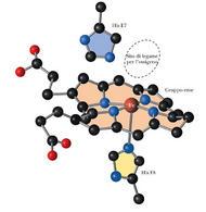 Fig. 2.5: il sito di legame per l'ossigeno della mioglobina