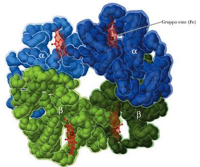 Fig. 2.7: la struttura della Emoglobina: l'emoglobina è un tetramero formato da quattro catene polipeptidiche (due catene α e due catene β)