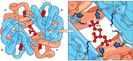 Fig. 2.14.2: il BPG stabilizza lo stato T dell'emoglobina