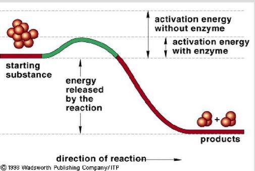 Gli enzimi abbassano l'energia di attivazione di una reazione. Fonte: modificato da: 1998 Wadsworth Publishing Company/ITP