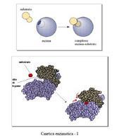 Cinetica enzimatica – 1