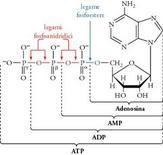 Un nucleotide costituito da una adenina, un ribosio ed un gruppo trifosfato