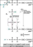 Idrolisi dell'ATP