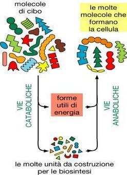Il metabolismo può essere suddiviso in catabolismo ed anabolismo