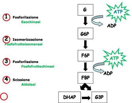 Fig. 5.12: le reazioni della glicolisi da 1 a 5 di investimento energetico