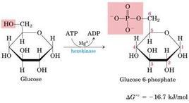 Fig. 5.13.1: la fosforilazione del glucosio a glucosio-6.fosfato
