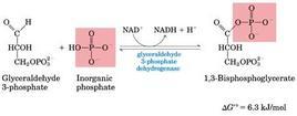 Fig. 5.16.1: la sesta reazione della glicolisi