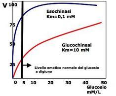 Fig. 5.19: quando i livelli di glucosio nel sangue aumentano oltre 5mM la glucochinasi è attiva e consente al fegato di rimuovere il glucosio, mentre l'esochinasi è completamente saturata