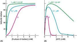 Fig. 5.21.2: attivazione della PFK1 da parte del Fruttosio-2,6-bisfosfato