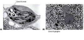 Fig. 5.7.2: una Immagine al microscopio elettronico di granuli di amido e granuli di glicogeno