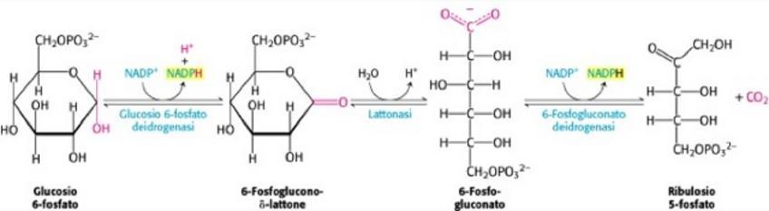 Reazioni ossidative della via del pentoso fosfato