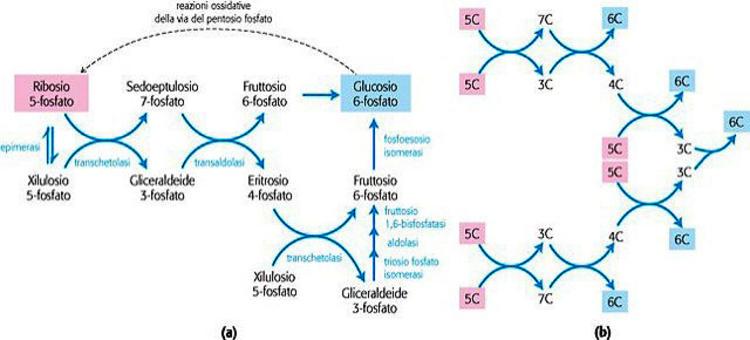 Reazioni non ossidative della via del pentoso fosfato