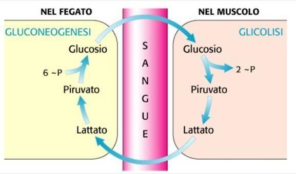 Gluconeogenesi da lattato