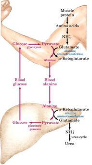 Il ciclo del glucosio-alanina
