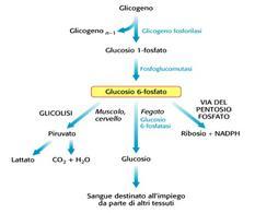 Glicogenolisi e destini del glicogeno nel fegato e nei tesuti periferici
