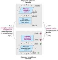 Regolazione per modificazione covalente della glicogeno sintasi e glicogeno fosforilasi