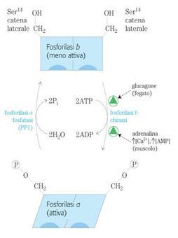 Regolazione per modificazione covalente della glicogeno fosforilasi muscolare