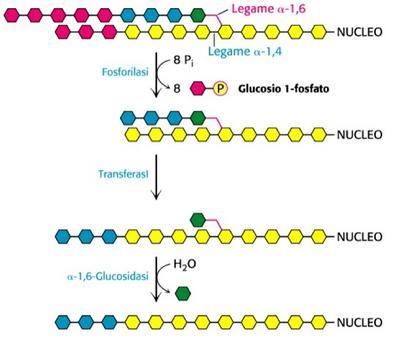 Degradazione del glicogeno vicino ad un punto di ramificazione (α1,6)
