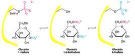 Reazione catalizzata dalla fosfoglucomutasi
