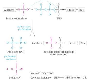 Formazione di uno zucchero legato ad un nucleotide
