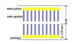 Il doppio strato dei fosfolipidi nella membrana cellulare