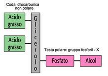 Struttura schematica di un fosfolipide