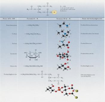 Struttura di alcuni glicerofosfolipidi