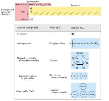 Gli sfingolipidi sono derivati della sfingosina