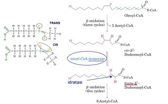 Ossidazione di un acido grasso monoinsaturo richiede due altri enzimi: enoil-CoA isomerasi e 2-4-dienoil-CoA reduttasi