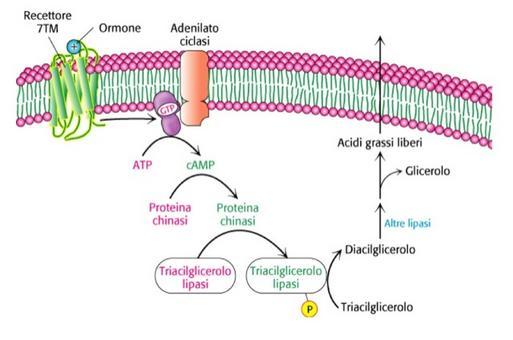 Fig. 3. Controllo dell'ossidazione degli acidi grassi