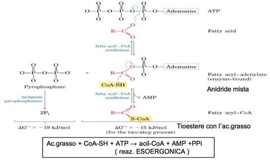 Fig. 3. Attivazione degli acidi grassi
