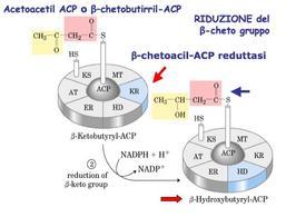 Reazione catalizzata da β-chetoacil-ACP reduttasi (KR)